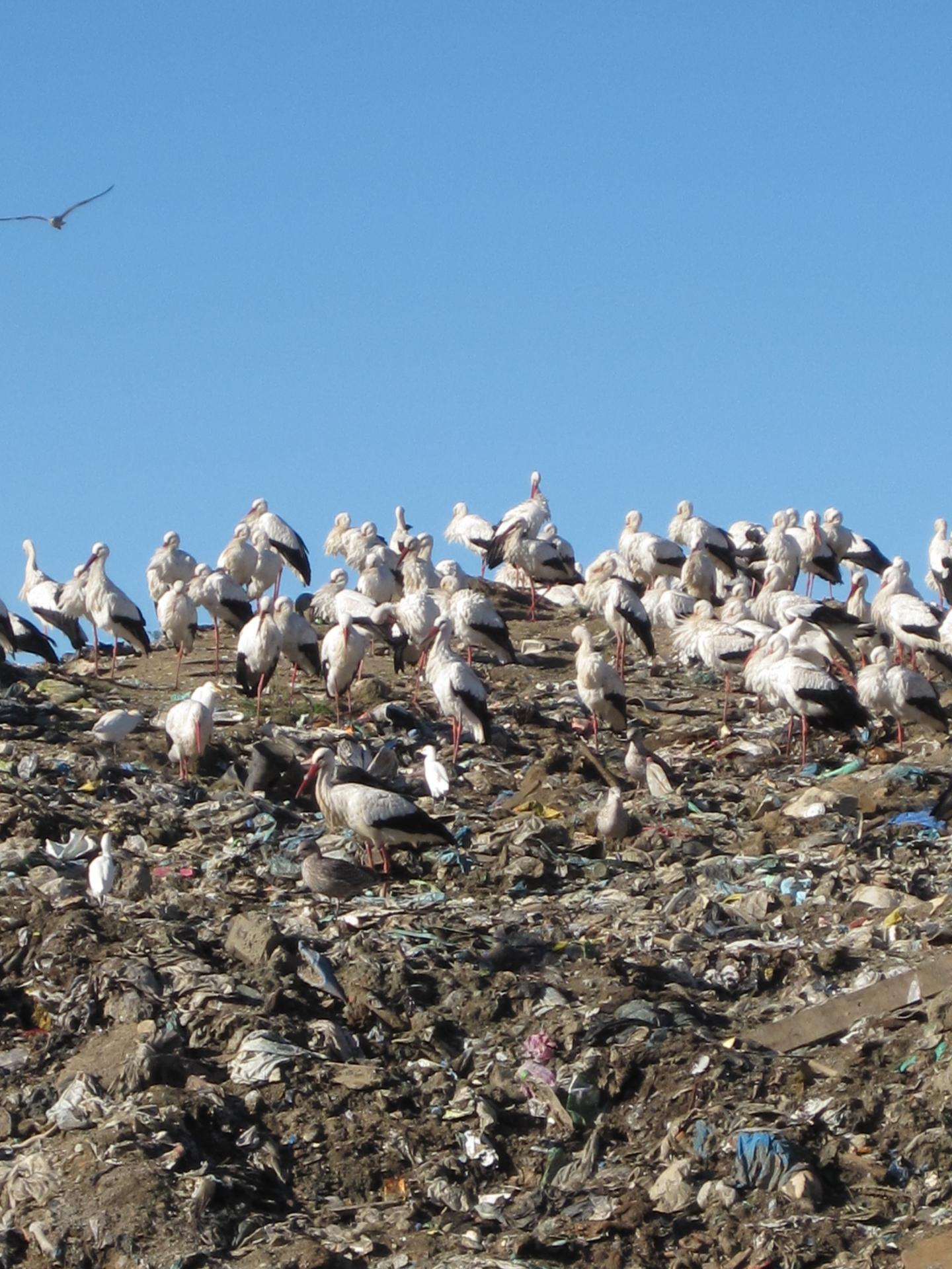 Storks on a Landfill Site, Portugal