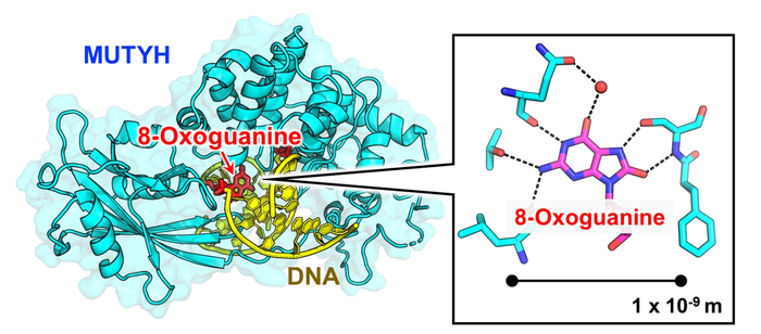 MUTYH recognizes 8-oxoguanine in DNA