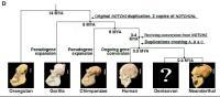 Evolutionary History of NOTCH2NL