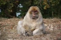 An Old Female Barbary Macaque