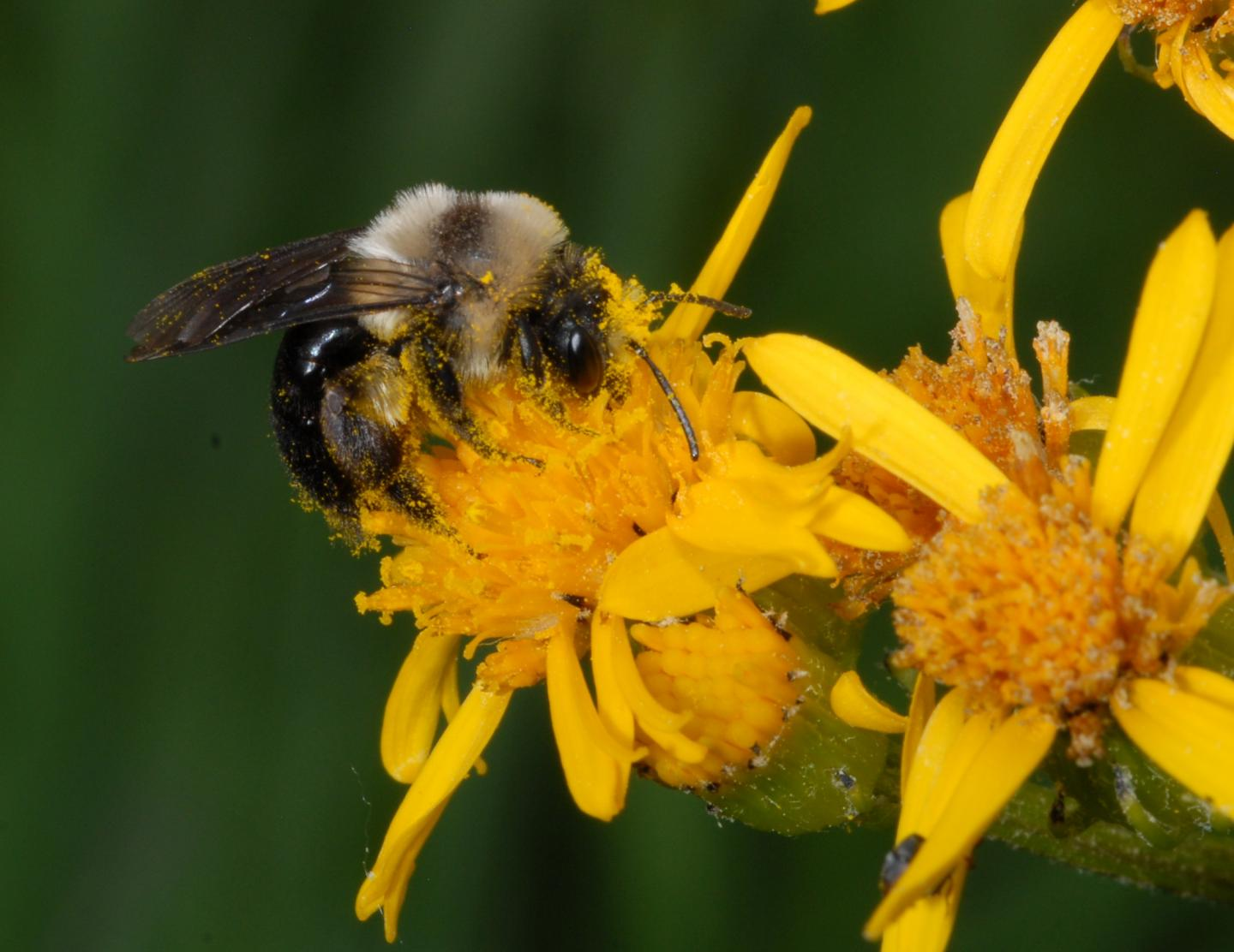 Black-banded miner bee on Rocky Mountain goldenrod