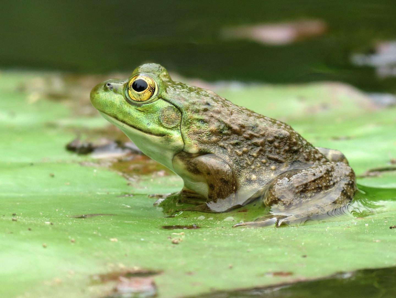 American Bullfrog (<i>Rana catesbeiana</i>)