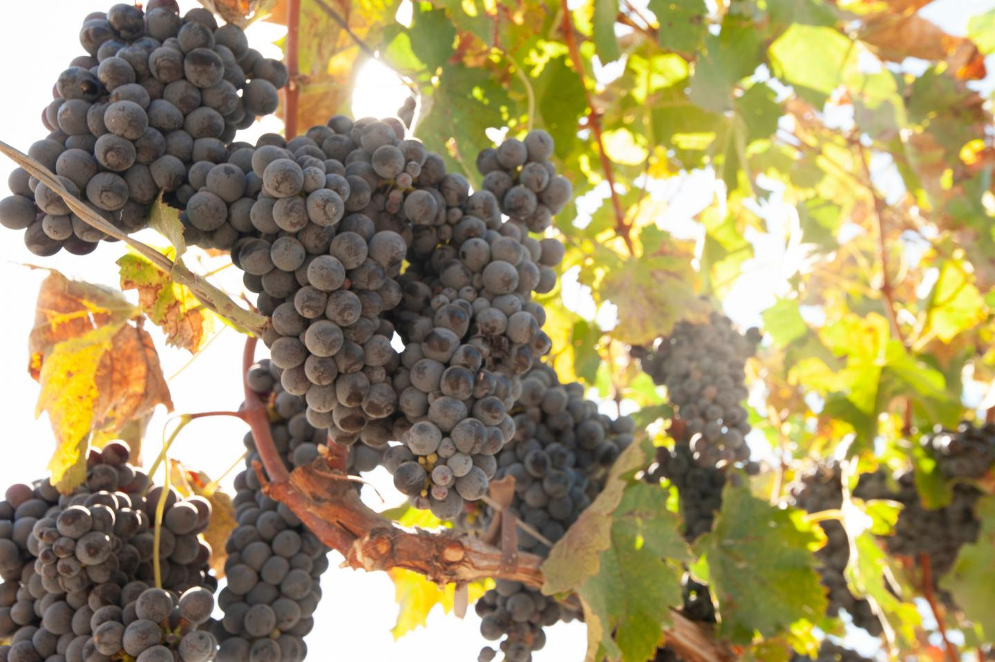 Uncovering the Genetic Basis of Hermaphroditism in Grapes, the Trait That Allowed Domestication