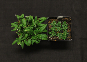 Arabidopsis normal and sterol deficient