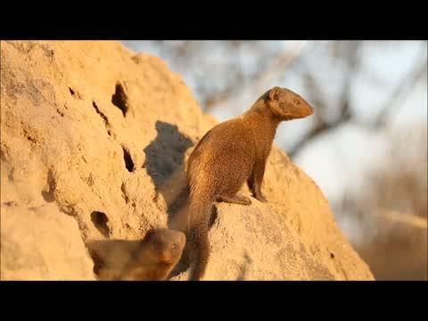 Dwarf Mongoose Sentinels