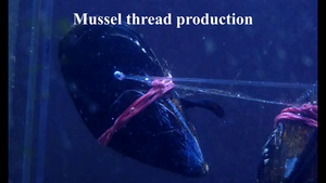Mussel thread production