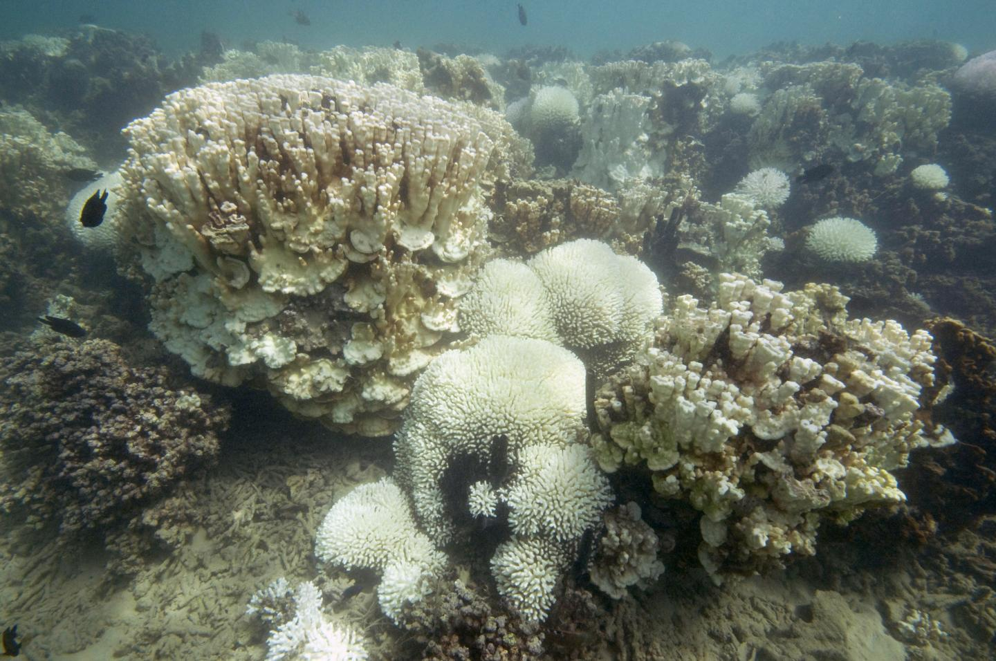 Severe Bleaching of Corals, Lord Howe Island 2010-2011