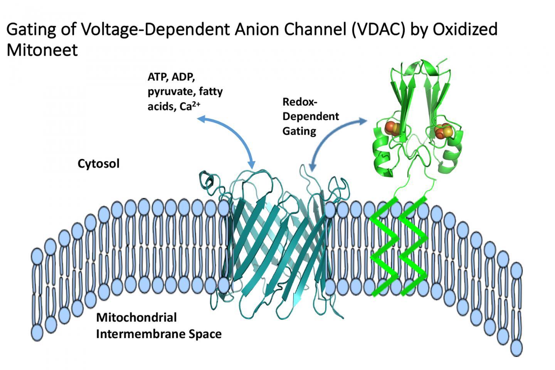mitoNEET regulation of VDAC