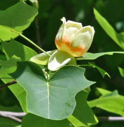 Tulip Tree (<i>Liriodendron tulipifera</i>)