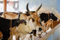 Tuberculosis Cows