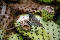 Common Cactus Finch