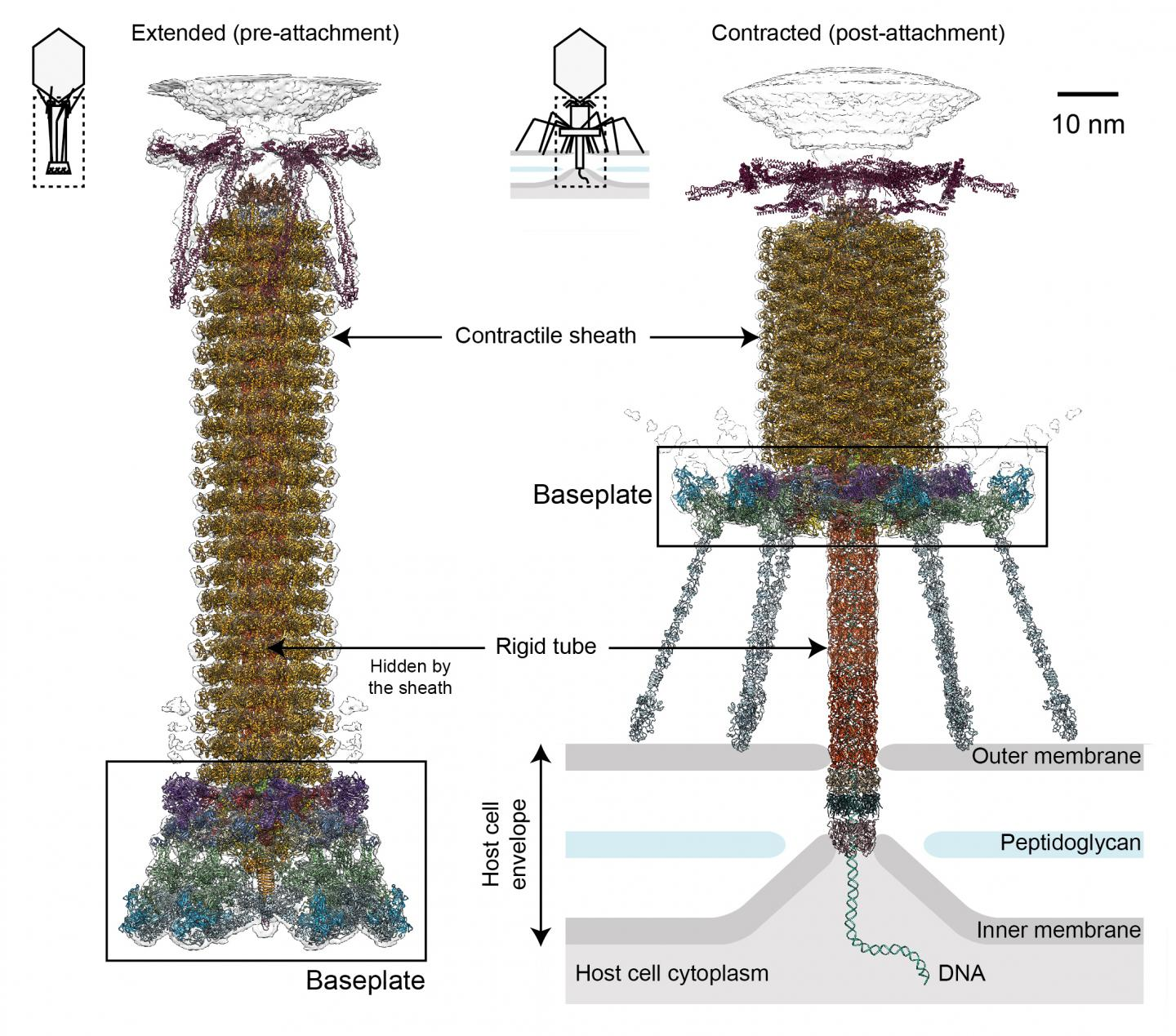 The Tail of Bacteriophage T4 is Shown Before (left) and After (right) Binding to a Host Cell