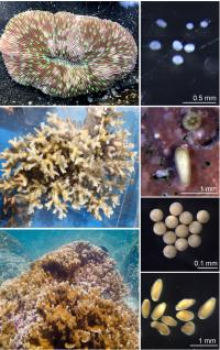 Adult and Larvae of the Hawaiian Corals