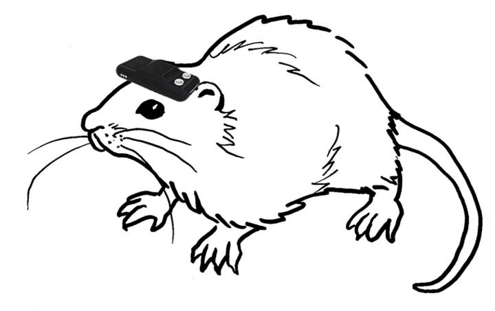 Rat Wearing Geomagnetic Device