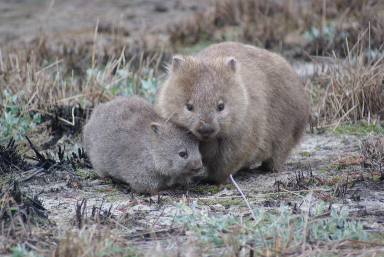 Mange-Affected Wombat