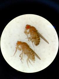 Drosophila eye colorations.
