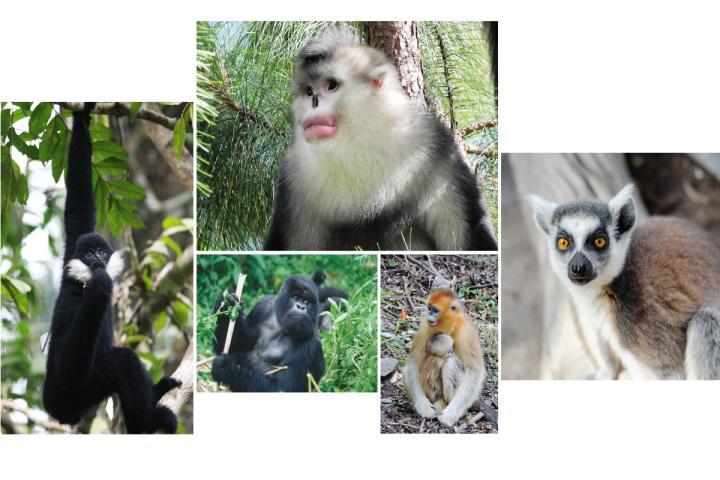 Primates in Danger