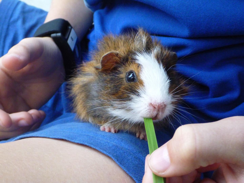 Study Guinea Pig and Wrist Band Sensor