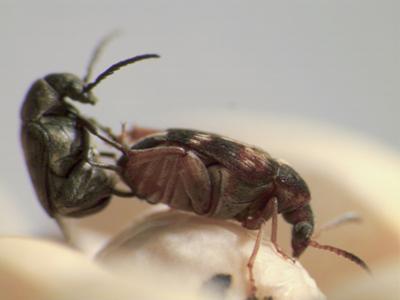 <i>Callosobruchus maculatus</i>
