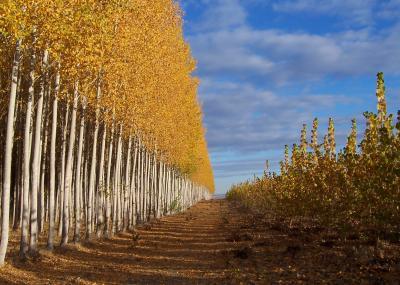 Poplar Plantations