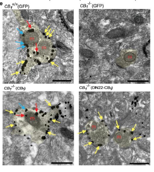 CB1 Cannabinoid Receptor in the Mitochondria