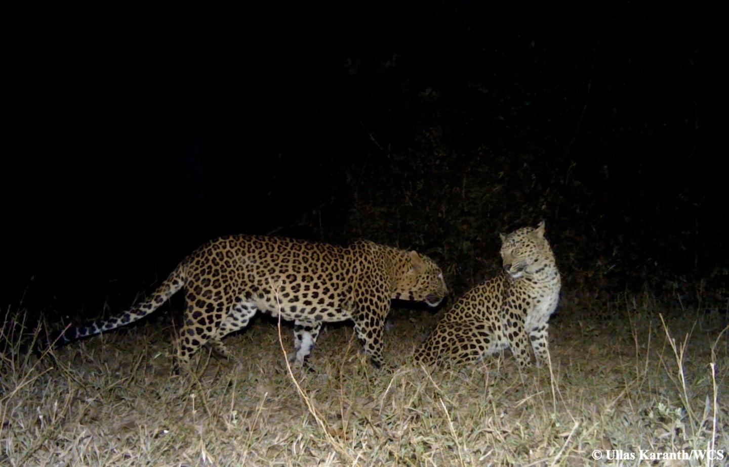 Courting Leopards