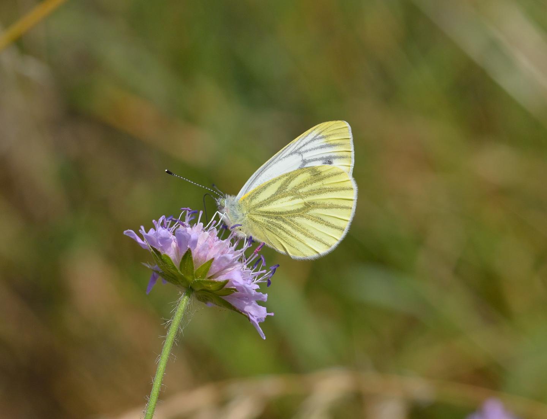 Green veGreen Veined White Butterflyined white butterfly