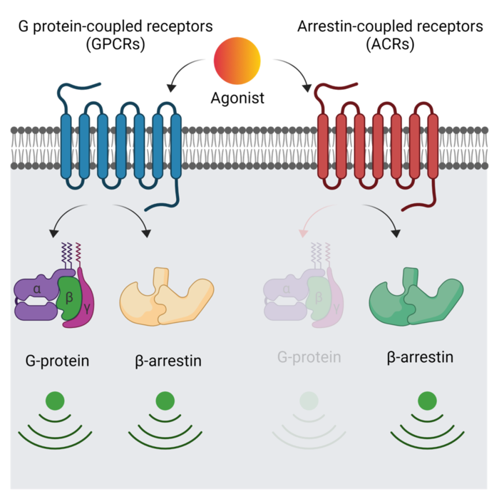 Researchers Illuminate the Working Mechanism of Important Drug Target Proteins