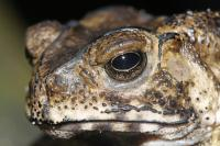 Toxic Toad (3 of 3)