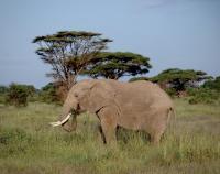 Elephant in Savanna