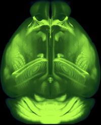 Allen Mouse Brain Common Coordinate Framework (CCFv3)