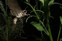 Ovipositing <i>Manduca sexta</i> Moth