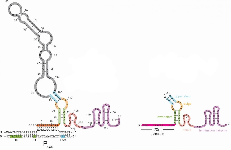 CRISPR system