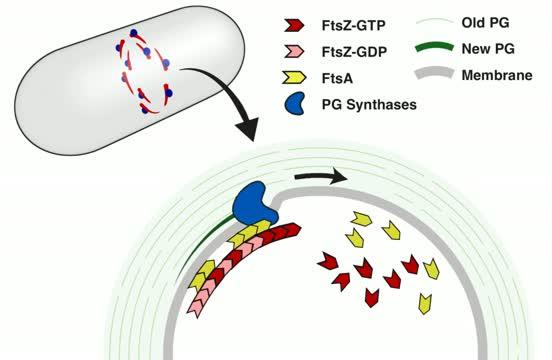 'Bricklaying' and 'Treadmilling' in Bacteria