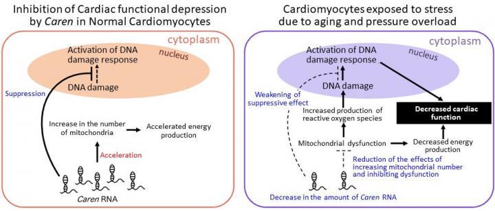 Heart Failure Mechanisms Due to Decreased <I>Caren</i> RNA in Cardiomyocytes