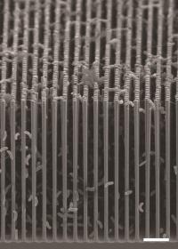 SEM of Nanowire/Bacteria Hybrid Array