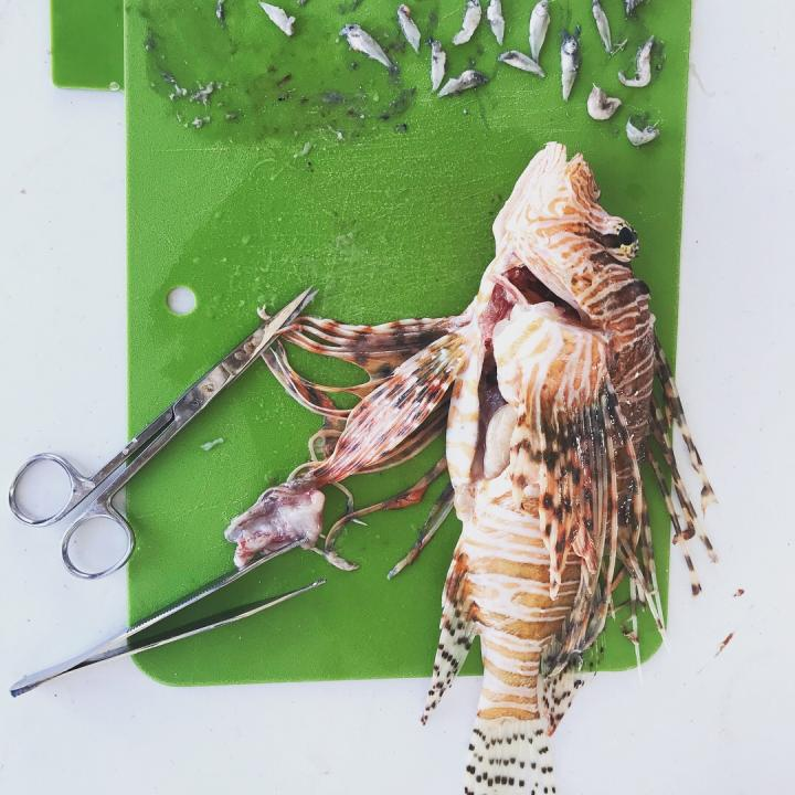 Dissected Lionfish
