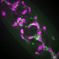 Fruit Fly Macrophages Responding to Wound in Presence of Apoptosis