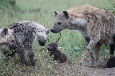 Among spotted hyenas, social ties are inherited
