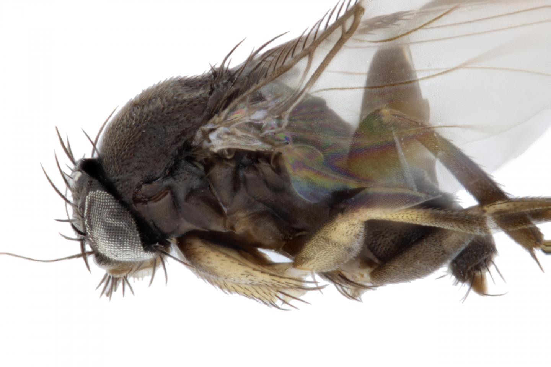 <i>Megaselia stoakesi</i>