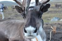 Reindeer Closeup