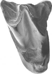Ancient bat tooth