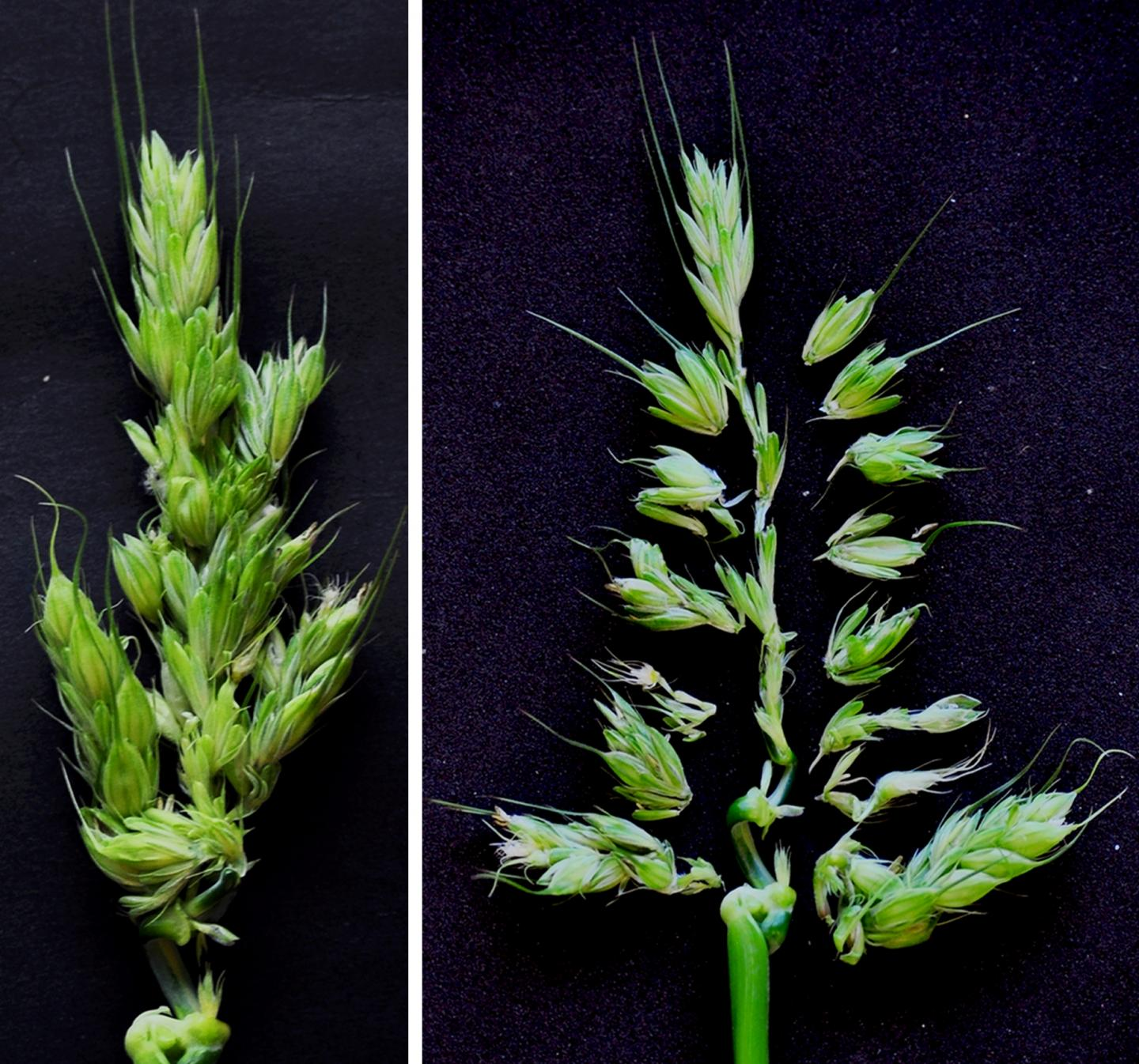 Branched barley spike