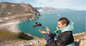 Flight of a little auk equipped with a GLS system (eastern Greenland).
