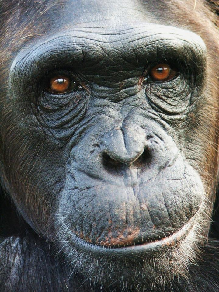 Inside the Mind of a Chimp