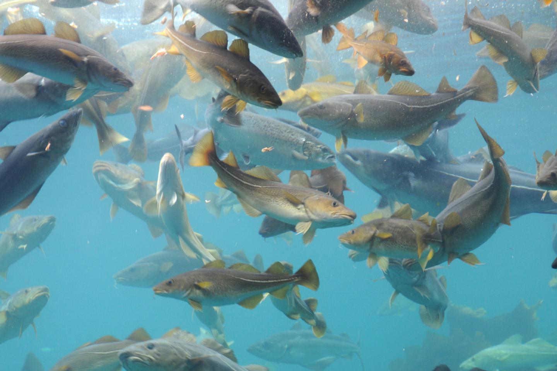 Cod swarm