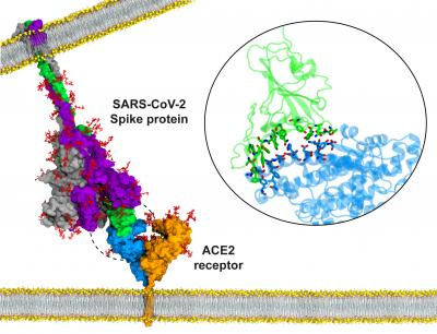 Atomic model for binding of the SARS-CoV-2 S protein to the ACE2 receptor on the host cell membrane