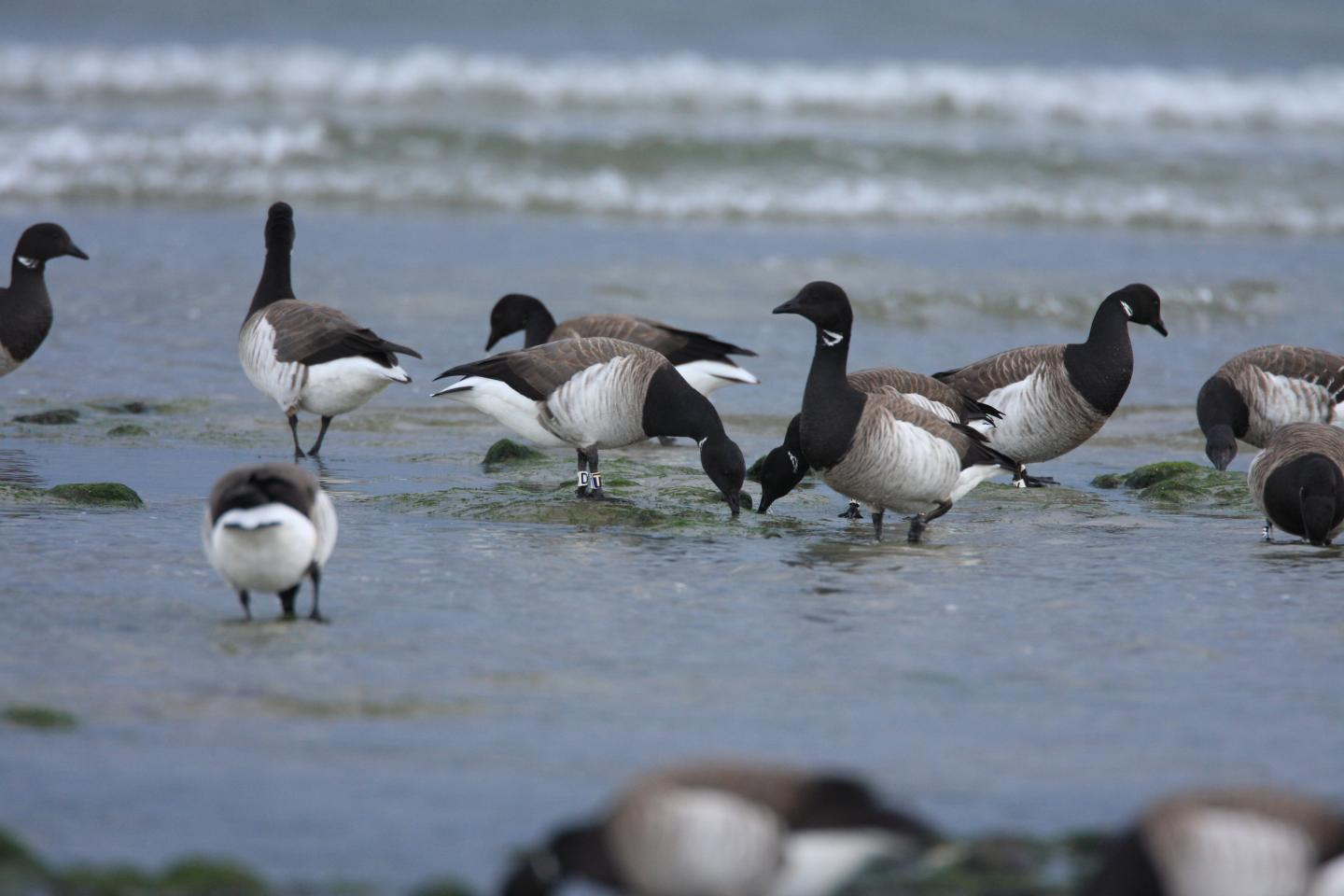Light-Bellied Brent Geese