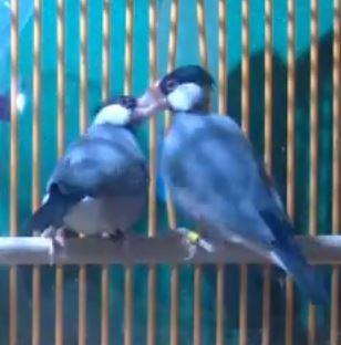 Java Sparrow Courtship