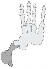 <i>Thylacoleo</i> Hand
